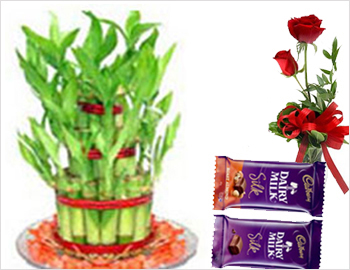Good Luck Plant  with Red Roses and Milk Silk Chocolates: Good Luck Plant (two steps), Two red roses, Dairy Milk Silk Chocolates (2 nos - each 60gms)